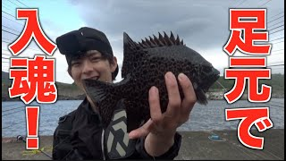 【八丈島】足元にエビを落とすだけでレアな高級魚が釣れた!!