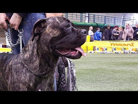 КАНЕ-КОРСО. Выставка собак LKBA CACIB «Планета собак 2016»