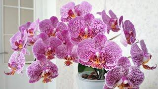 Цветение орхидей июль 2020. Орхидея Интрига Каменная Роза Литл Зорро Вайлет Квин