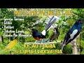 Masteran Paling Di Cari Kicau Mania Variasi Gereja Tarung Cililin Kolibri Dan Lain  Mp3 - Mp4 Download