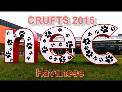 Havanese Crufts 2016