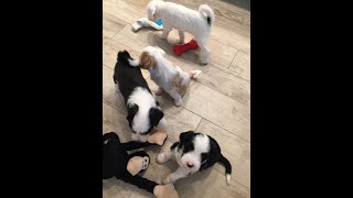 Dog video Ep2:  6 cute Tibetan terrier puppies have a crazy and fun time.