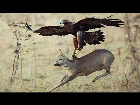 Deer hunting with Falcon