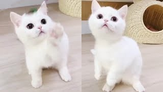 Super Cute MUNCHKIN KITTENS melt your heart . Compilation for cat lovers