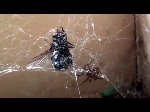 SPIDER vs THE FLY