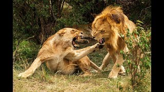 Pride lions attacking lioness! - Animals attack - Lions fight
