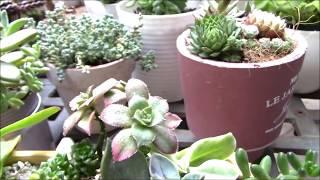 多肉植物図鑑 アエオニウム属「夕映え」ユウバエSucculent plants