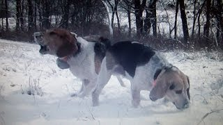 Rabbit Hunting With Beagles In The Snow (with Kill Shots And Two Cameras)