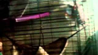 Rat Jumping Up Cage
