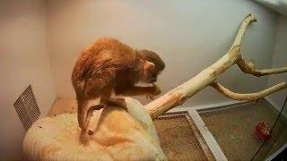 домашние питомцы виды, обезьянка саймири
