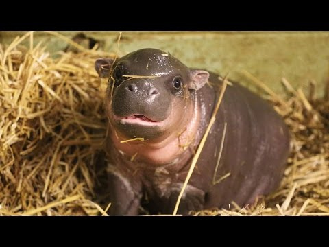 Thumbnail: Adorable baby pygmy hippo born