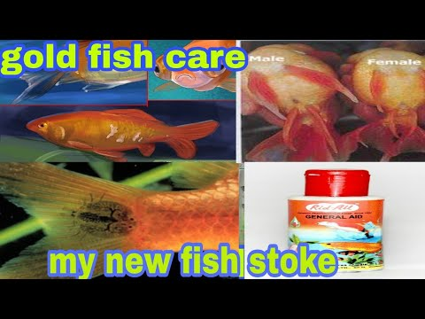 Gold Fish Care Goldfish Fungus How To Treatment Goldfish And My New Fish Stoke