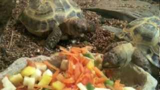 Как кормить сухопутную черепаху(Чем же кормить сухопутных черепах? Сухопутные черепахи - исключительно вегетарианцы, их рацион должен сост..., 2012-08-15T09:46:13.000Z)