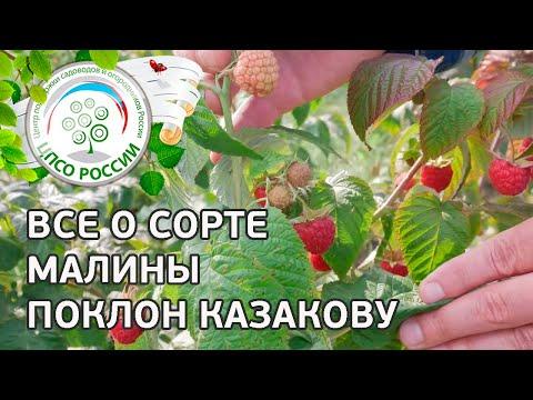 Сорт малины Поклон Казакову. Описание сорта ремонтантной малины Поклон Казакову от соавтора сорта. | выращивание | вырастить | открытый | рассада | посадка | агроном | семена | сажать | россии | огород