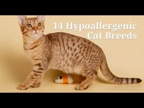 The best 14 Hypoallergenic Cat Breeds