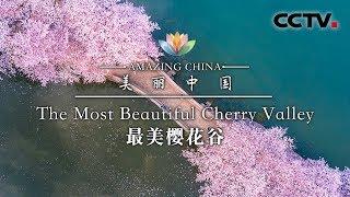《美丽中国》 美丽樱花谷 | CCTV