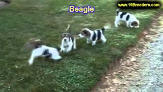 Beagle,puppies, For, Sale In Toronto, Canada, Cities, Montreal, Vancouver, Calgary