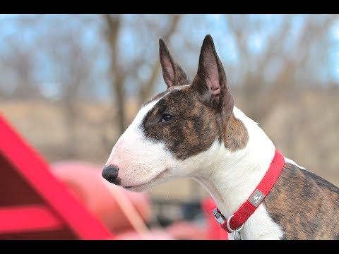 Bull Terrier Puppy - Training session using very simple equipment