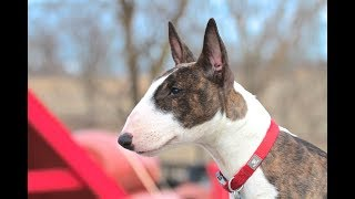 Bull Terrier Puppy  Training session using very simple equipment