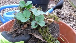 Lazy composting: strawberry plant from beginning to how to save new shoots.