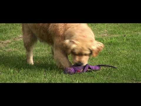Swissridge Kennels Golden Retrievers Poodles And Goldendoodles