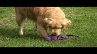 Swissridge Kennels Golden Retrievers, Poodles And Goldendoodles
