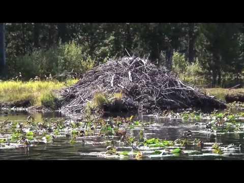 Moose Lake / Beaver Lodge and Splash HD