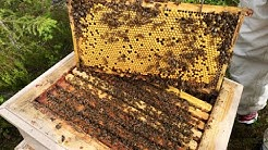 Arktische Bienen Live / Mehiläispesä Live / Arctic Bee Live