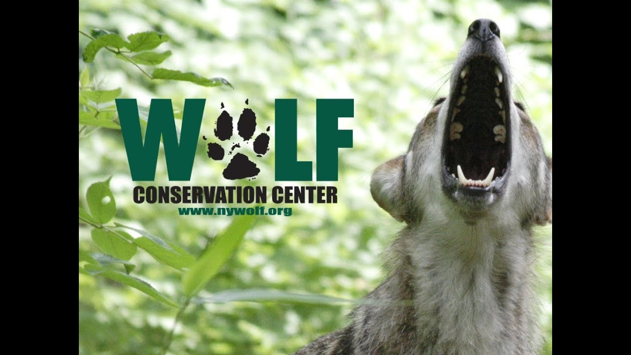 Red Wolves in the US: Will they Survive Extinction