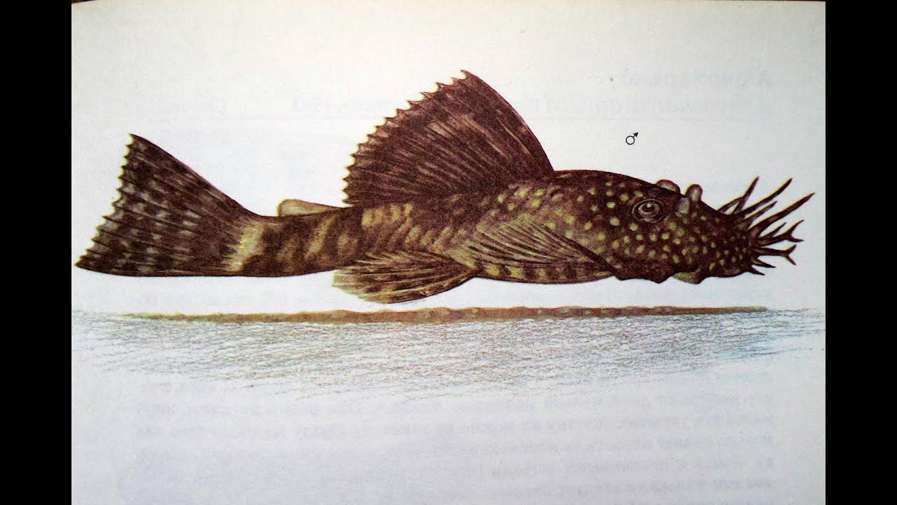 Анциструс (Ancistrus dolichopterus) - Аквариумные тропические рыбы № 2