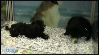 Poodle X Shih-tzu Puppies