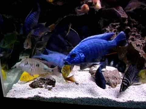 African Cichlid Tank- feeding in 220 gallons!