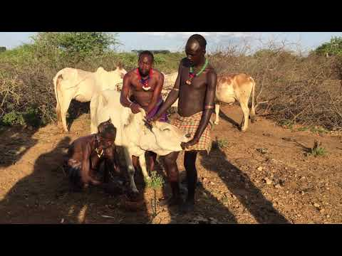 Ethiopia Surma Tribes Drinking The Blood Of Caw