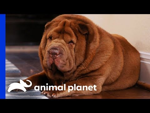 Family Needs To Step Up To Help Their Shar-Pei Get Active | My Big Fat Pet Makeover