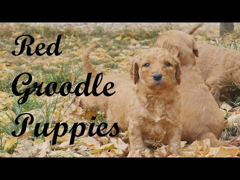 Beautiful Groodle puppies in Autumn leaves