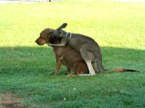Kangaroo hugs on his dog