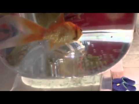 Koi/goldfish Giving Birth