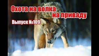 Охота на волка на приваде видео