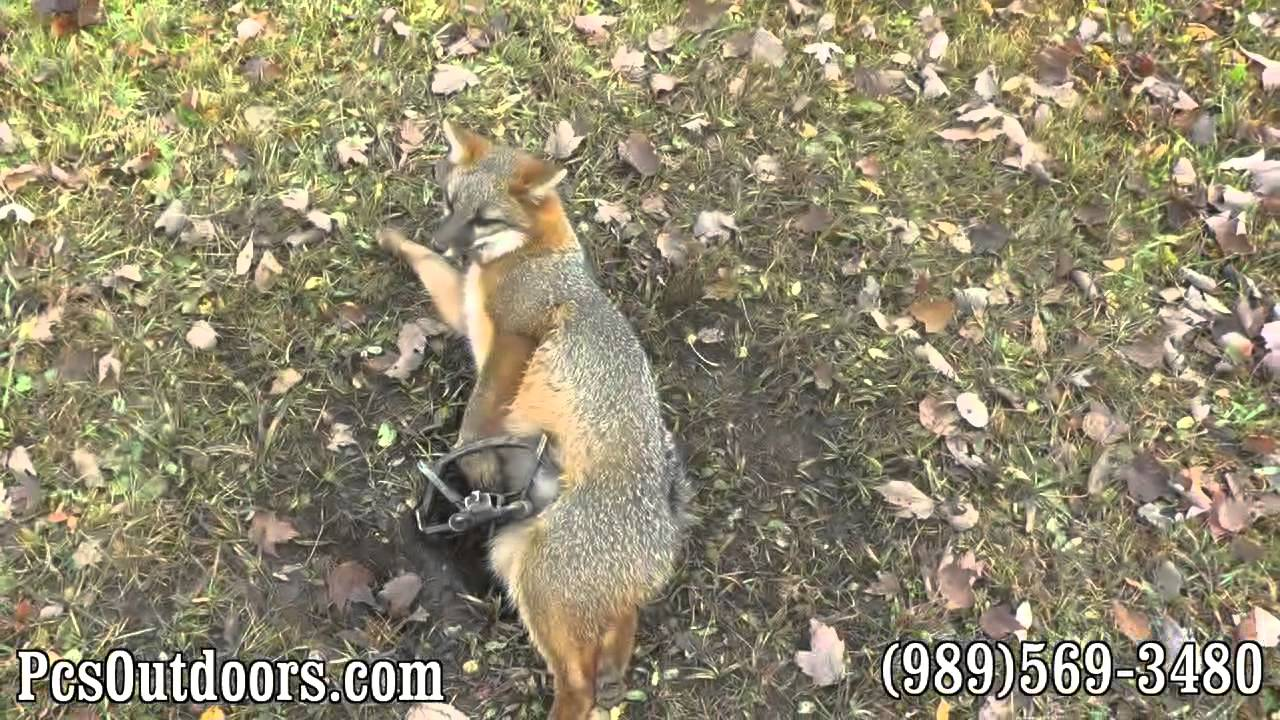 Trapping And Coyote Fox
