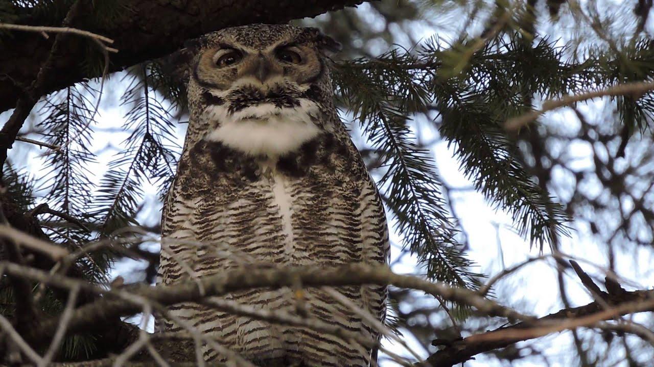 washington state university great horned owl