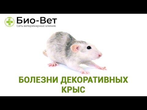 Крысы домашние чем болеют