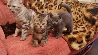 Scottish kitties 10.03.2017/ Котята подросли