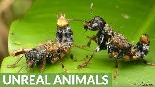 Courtship of rove beetles in Ecuador rainforest