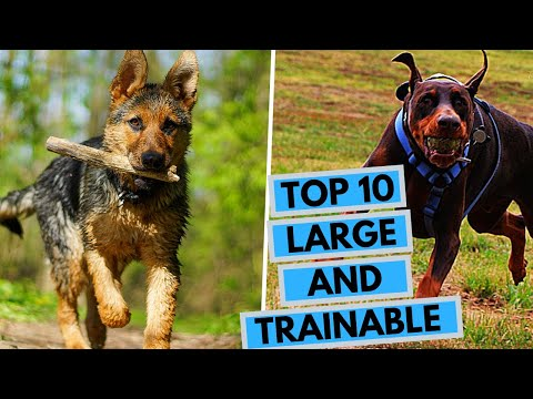 large-easy-to-train-dog-breeds