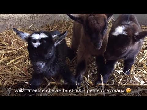 Mise bas triplés chèvre