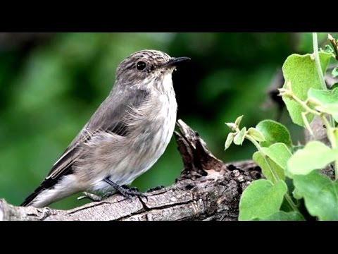 Spotted Flycatcher Bird