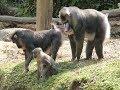 La vallée des singes :  Les Mandrills et Géladas