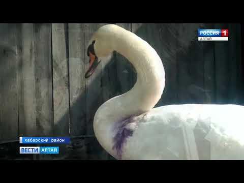 Вопрос: Может ли лебедь причинить человеку травму крылом?
