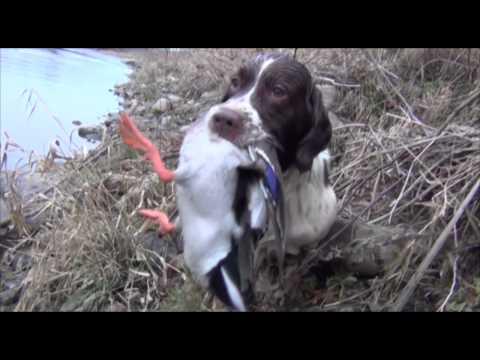 Springer Spaniel Duck Hunting