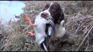 Springer spaniel duck hunting